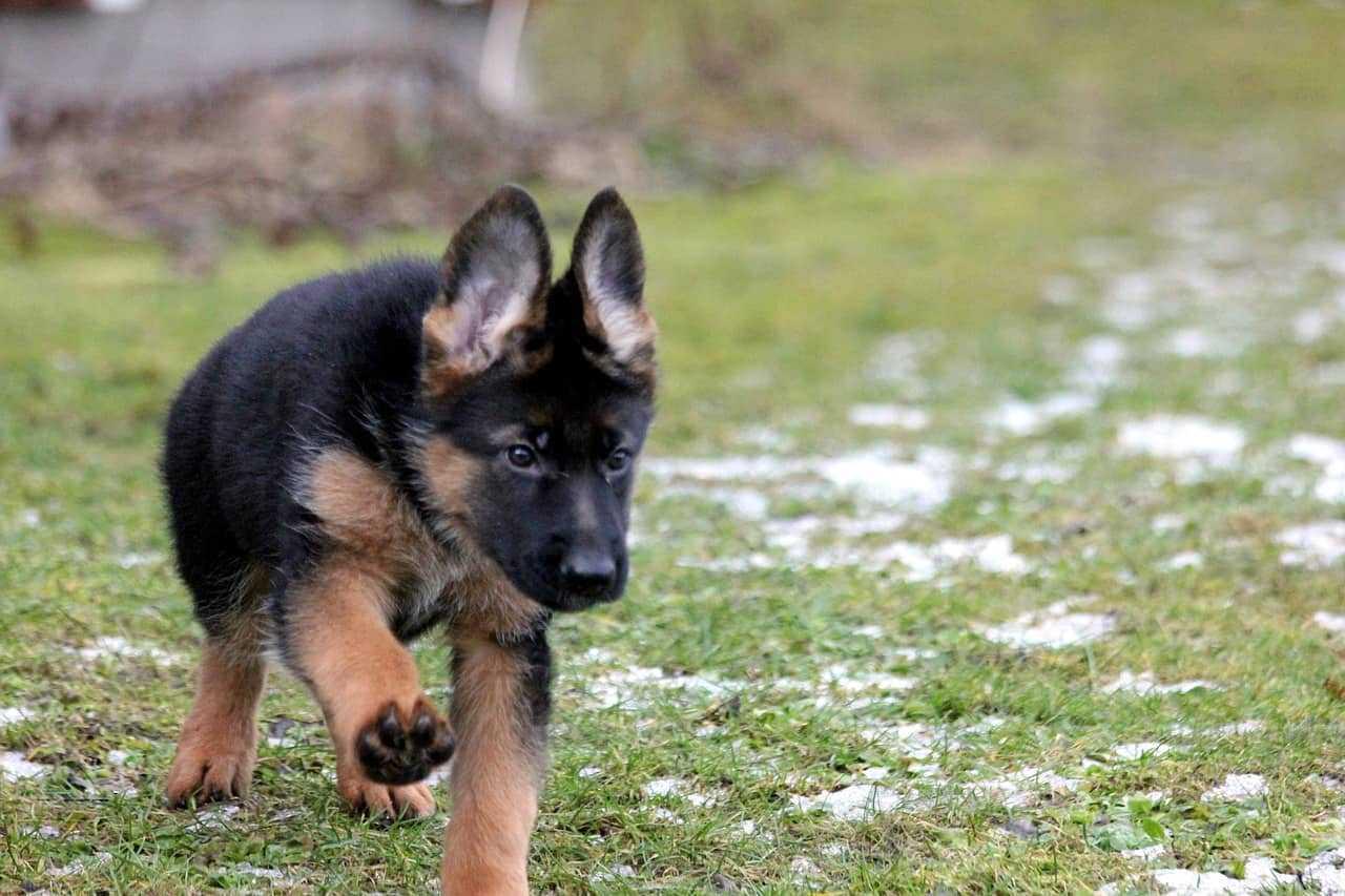 6 Tips On How To Train Your German Shepherd Puppies Puppieslove Net