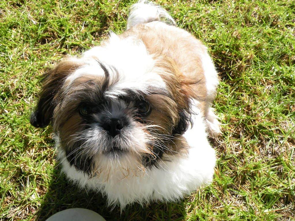Learn Different Ways To Housebreaking Your Shih Tzu Puppies