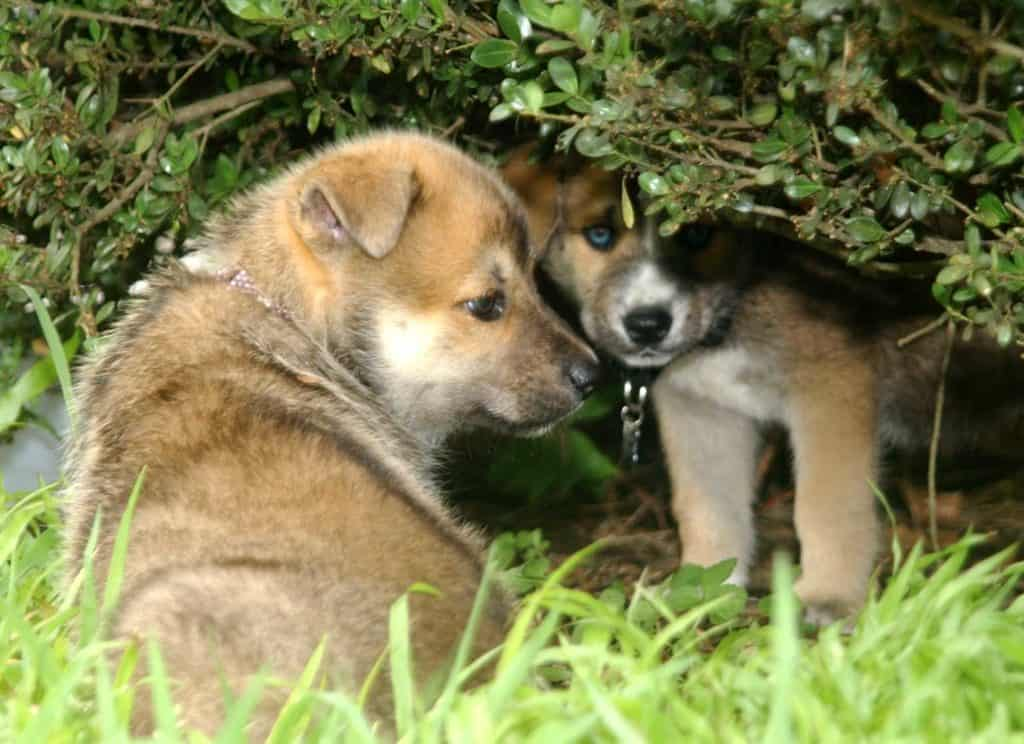 Six Tips On How To Train Your German Shepherd Puppies