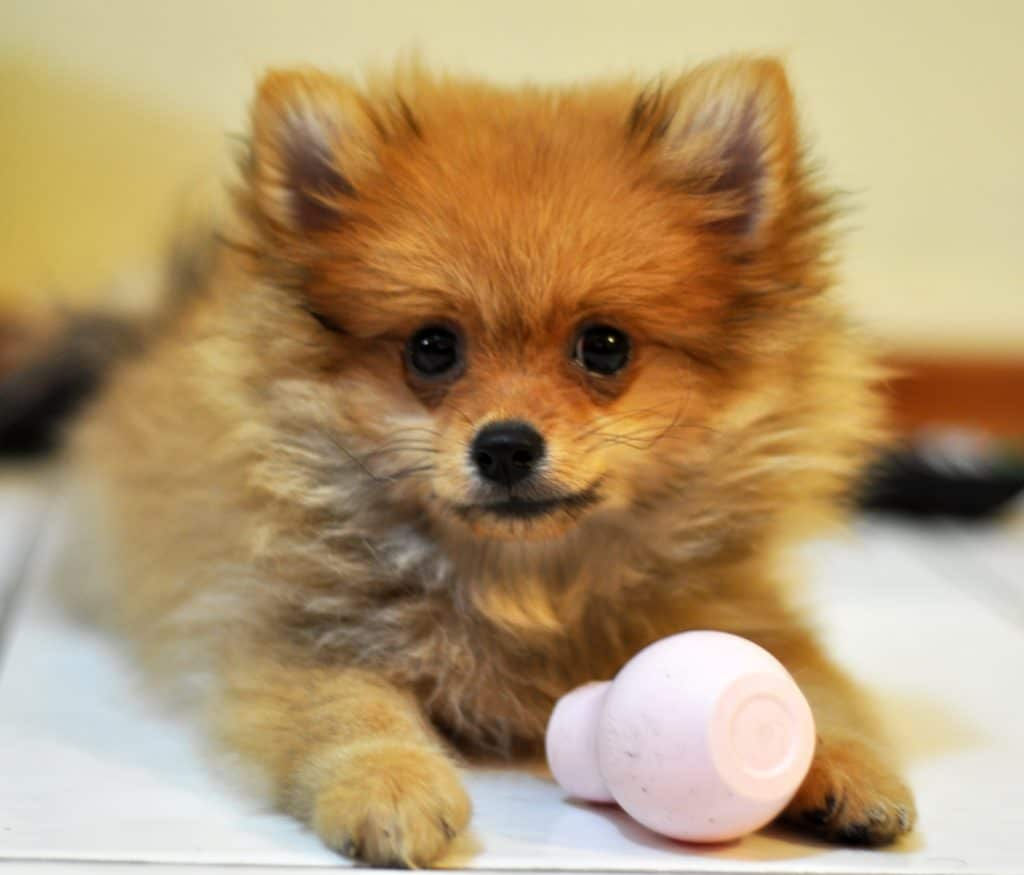 Things To Know About Your Pomeranian Puppy
