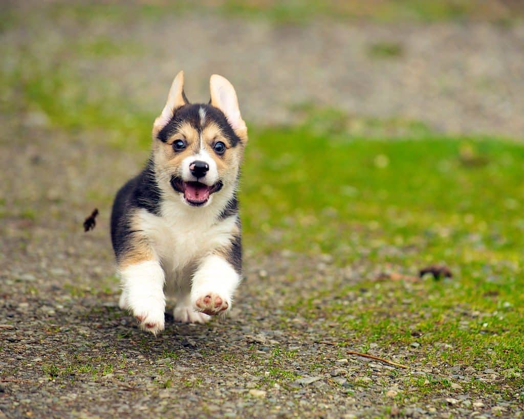 Topmost Common Commands That You Should Teach Your Corgi Puppies