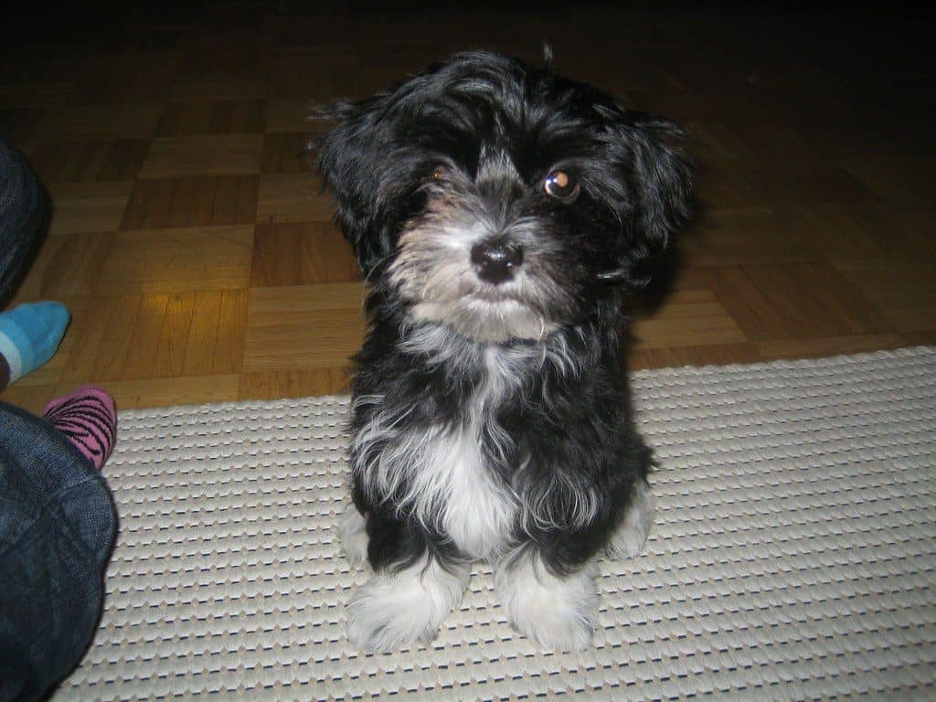 All The Required Things That You Should Know About Havanese Puppies