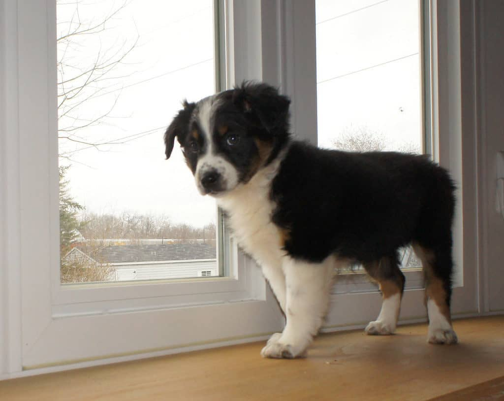 How To Deal With Australian Shepherd Puppy Training Puppieslove Net