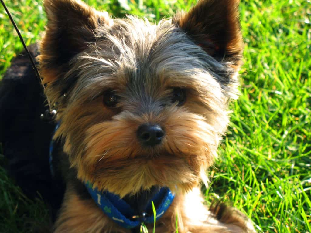 Understanding The Important Steps In A Perfect Yorkie Puppies Care