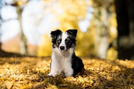 5 Characteristics Of An Australian Shepherd Puppy