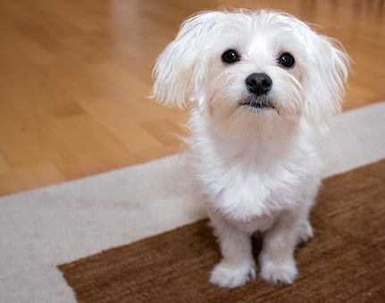 Noteworthy Personality Traits Of A Maltese Dog