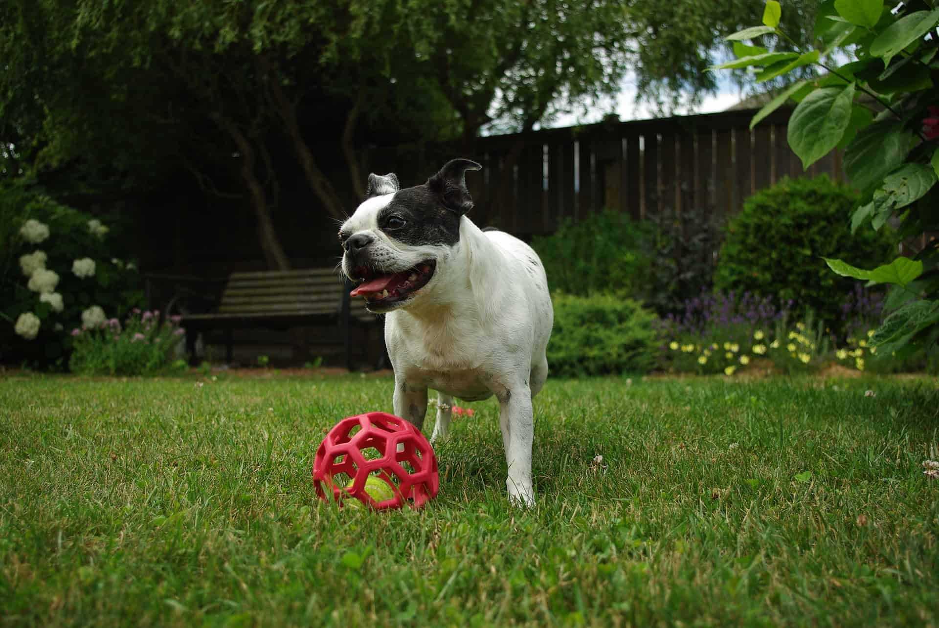Important information on boston terrier puppies