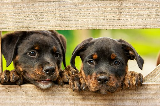 Rottweiler Puppies And Their Diets