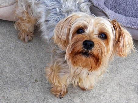 4 Factors Influencing The Price Of Yorkie Puppies
