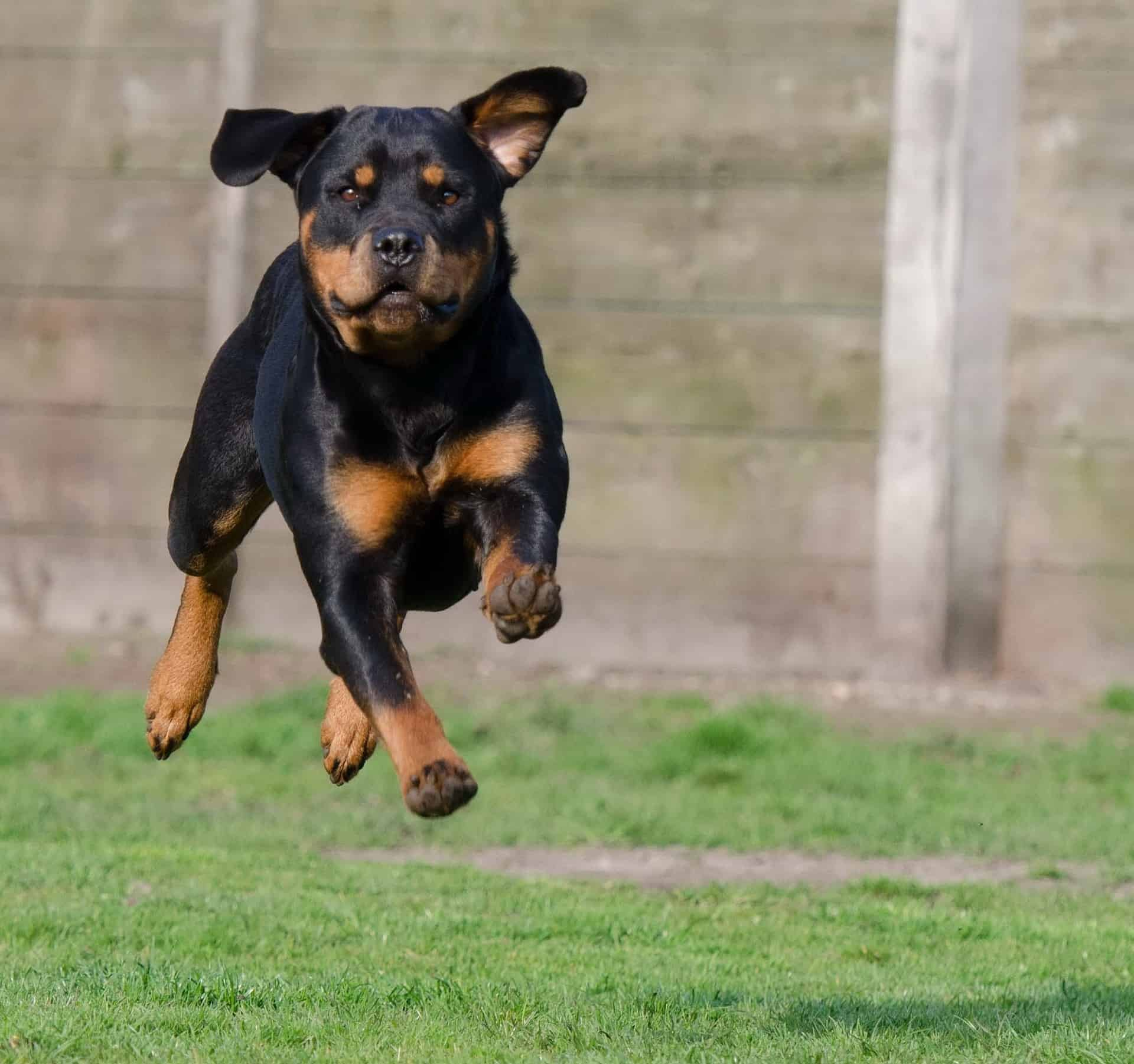 A Guide To Rottweiler Puppies Training