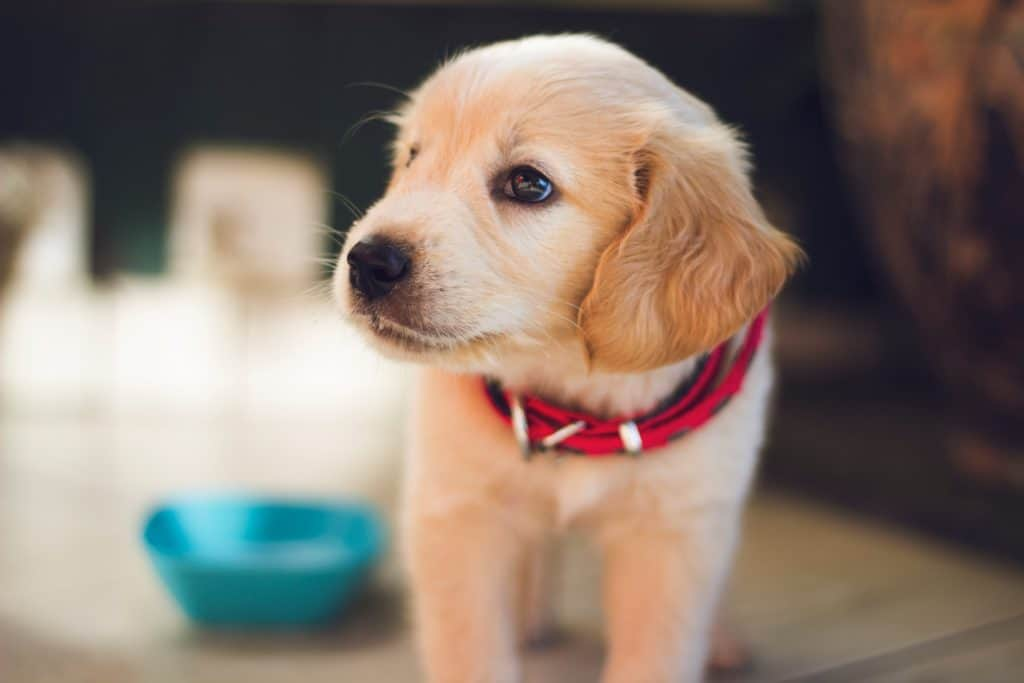 Why A Rottweiler Puppy Is Essential Pet To Your Family