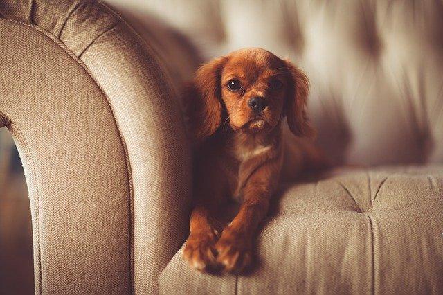 A small brown dog lying on a sofa