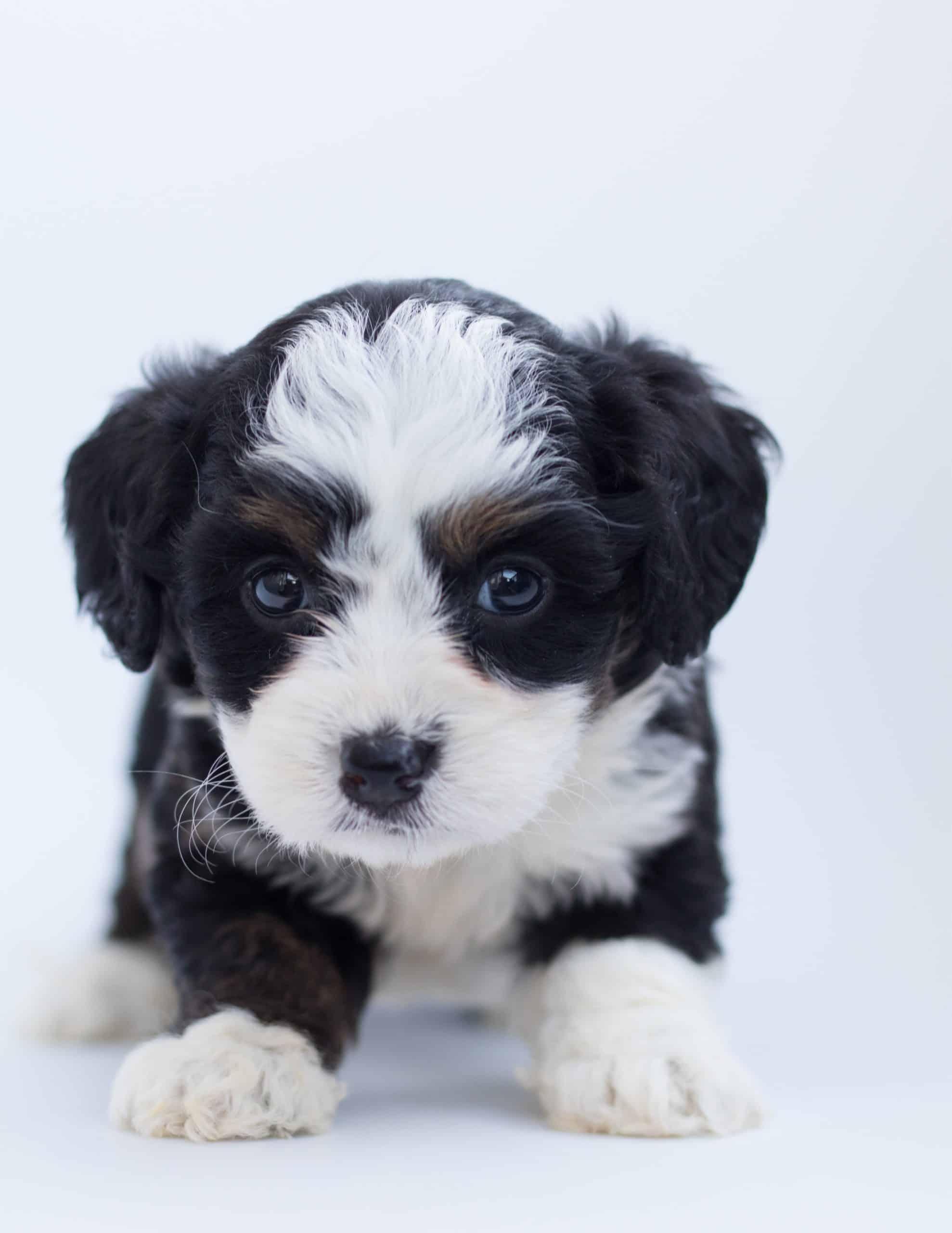 Puppies 101 - The Australian Shepherd Puppy Trains