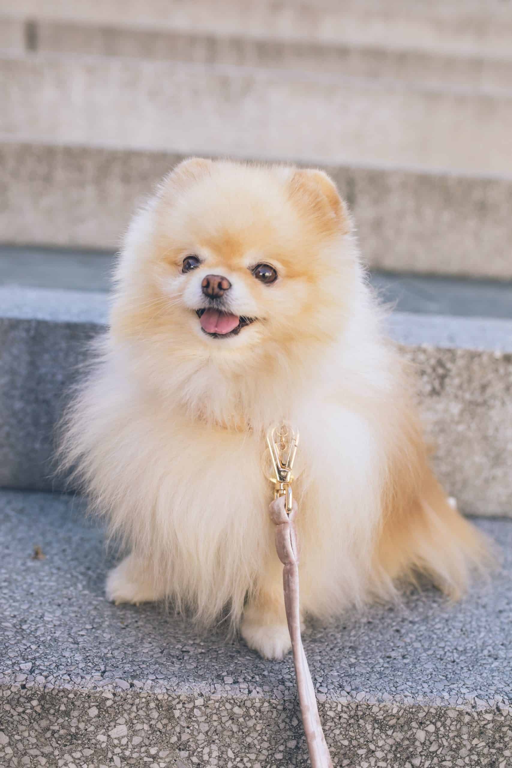 What Is The Shortest Dog Breed