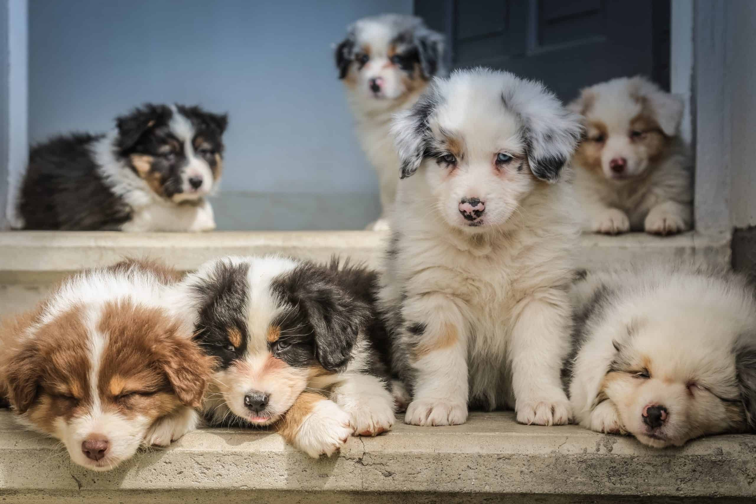 Australian Puppies - Tips to Help You Buy the Best Puppy For Your Friends