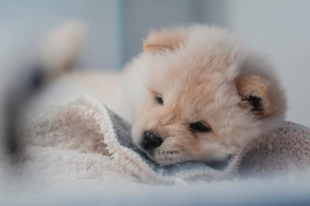 Yorkie Puppies Care: Why is it Important to Train Them?