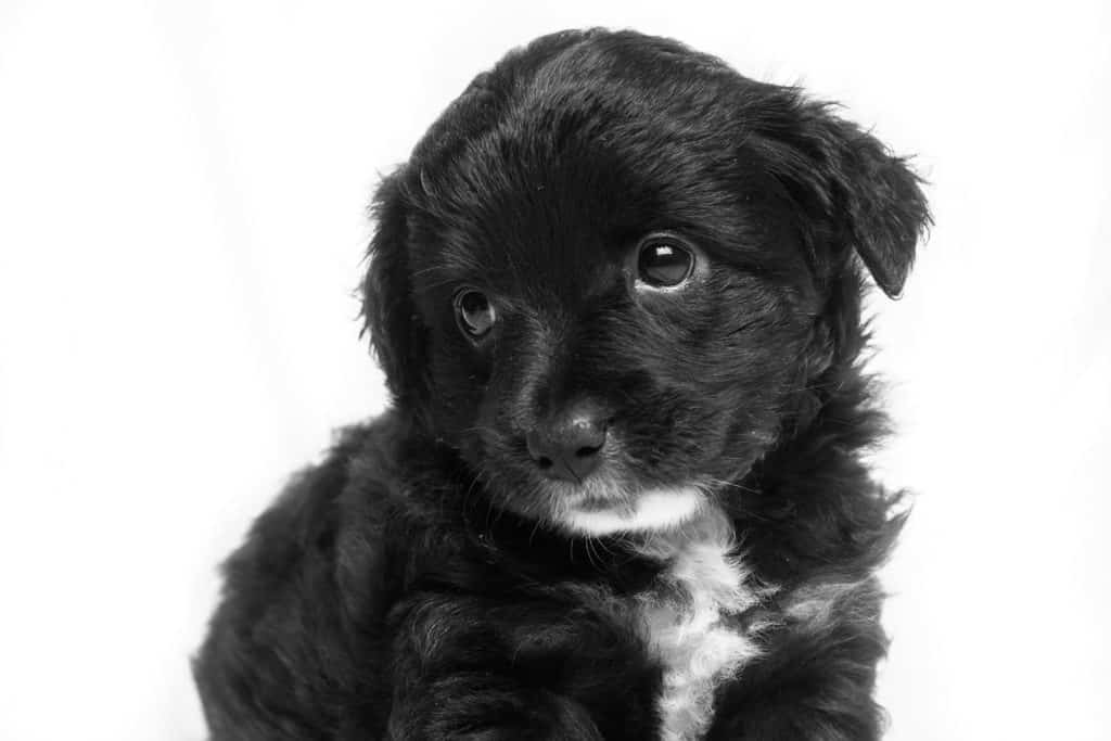 A Puppy Guide Week By Week