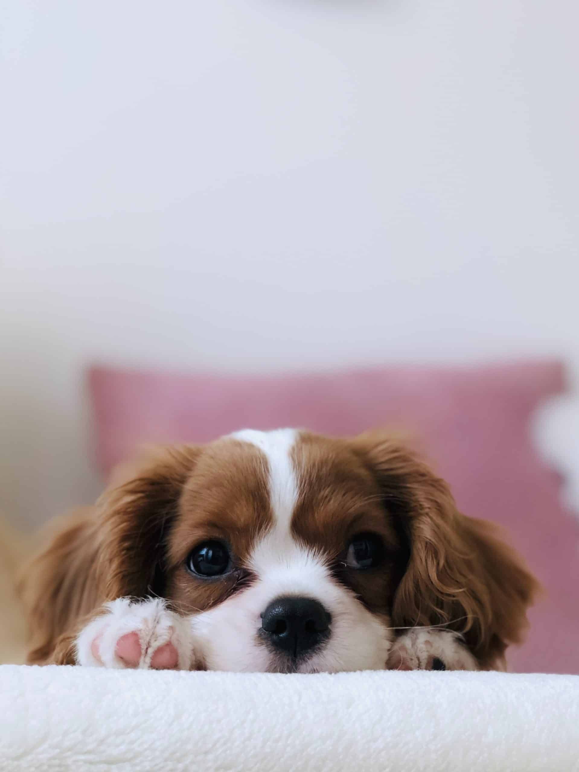 Puppy Guide For Dog Obedience Training