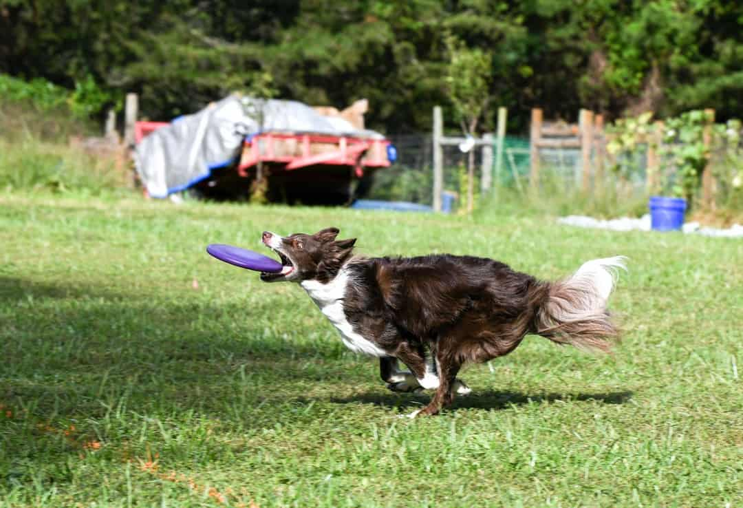 A dog jumping to catch a frisbee