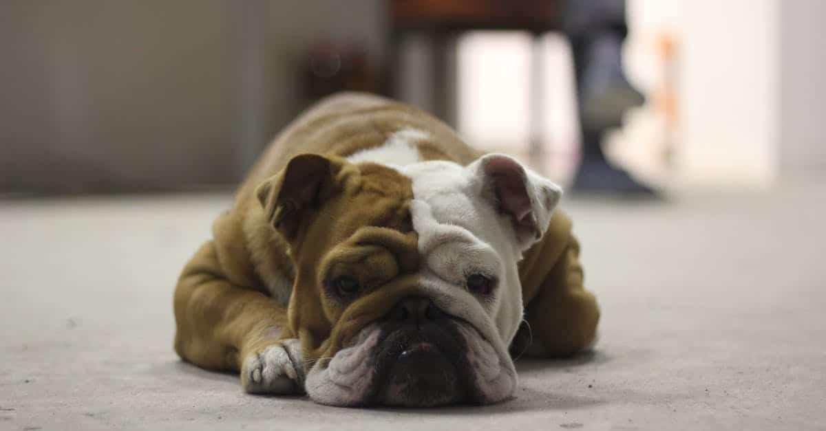 English Bulldog Newborn Puppy Care