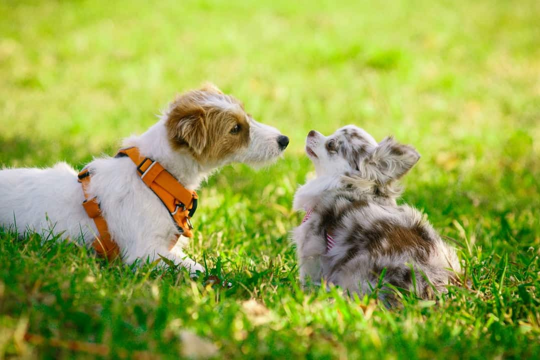 pit bull puppy training tips