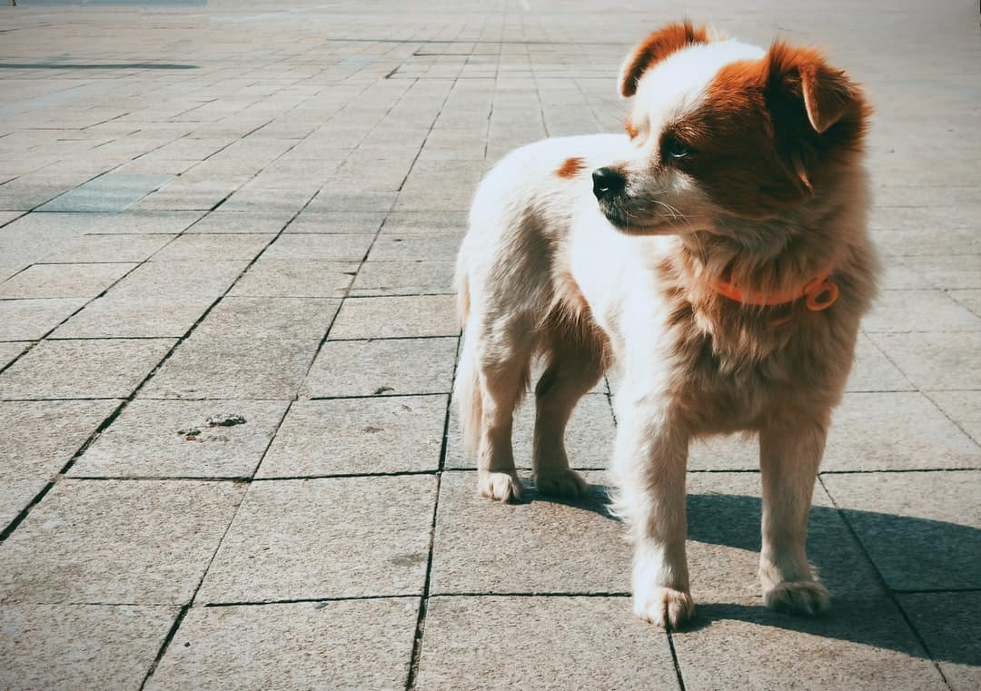A small dog standing on a sidewalk