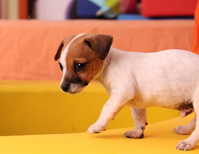 jack russell puppy training tips