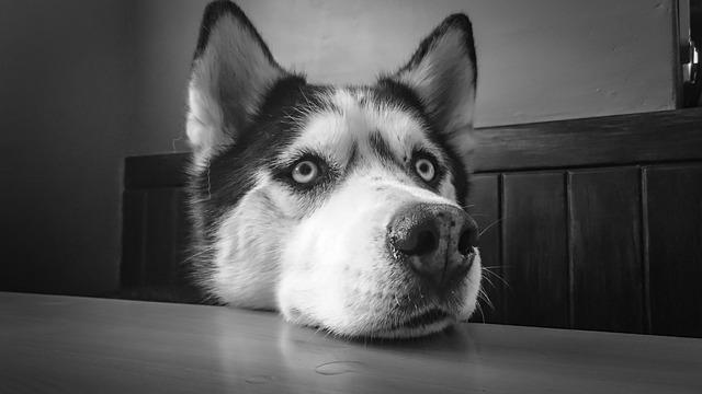 husky puppy care