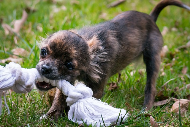 A small dog playing with a frisbee in its mouth