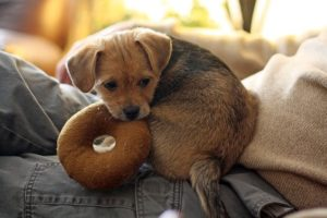 A small brown dog lying on a couch
