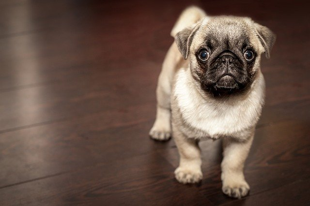 pug puppy training tips